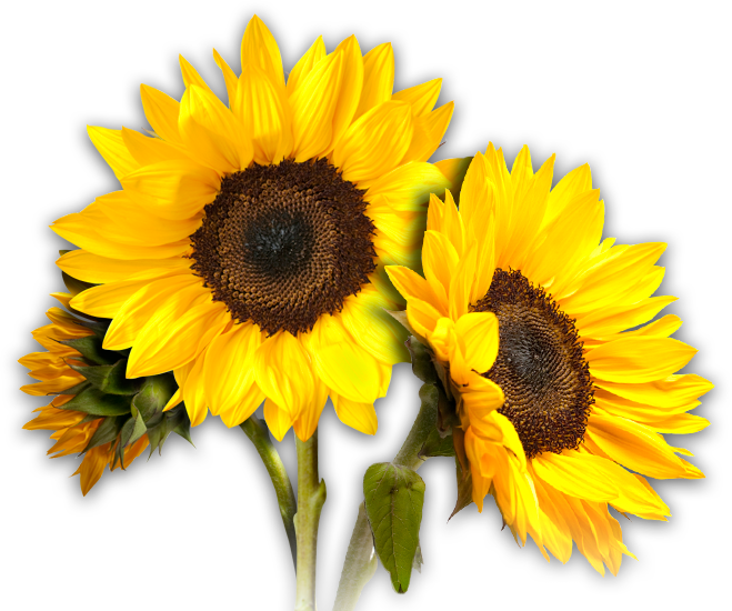 Png sunflower. Images free download sunflowers
