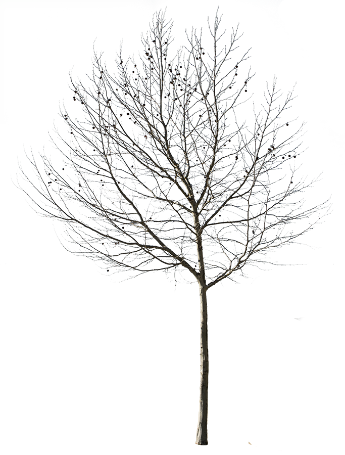 Wetlands drawing cypress tree. X pixels cut
