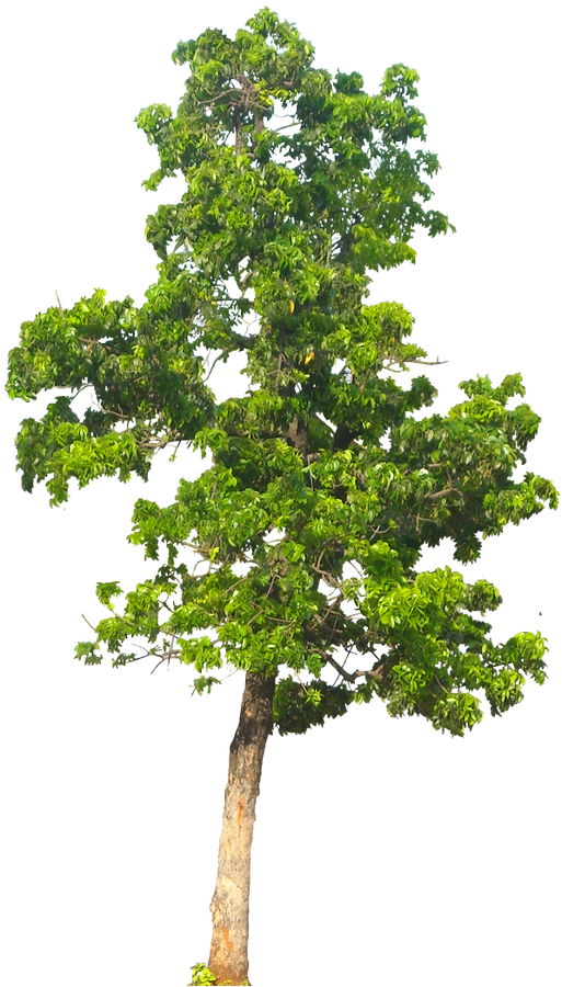 Png trees for photoshop free download. Tree images cutouts