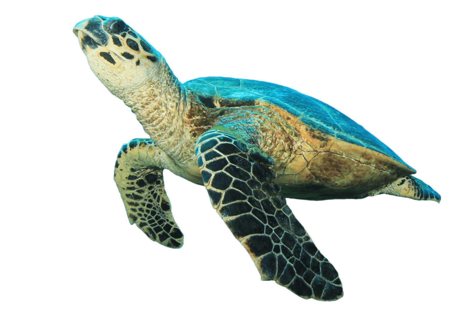 Png turtle. Looking up transparent stickpng