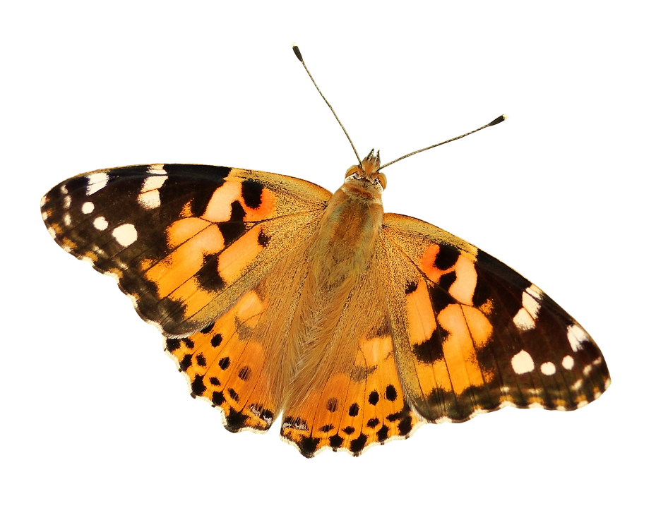 Butterflies transparent png. Free photo butterfly background