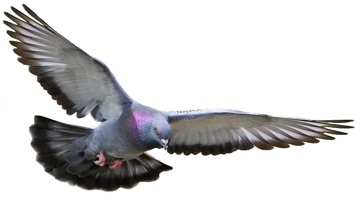 Png with transparent background. Dove pictures free icons