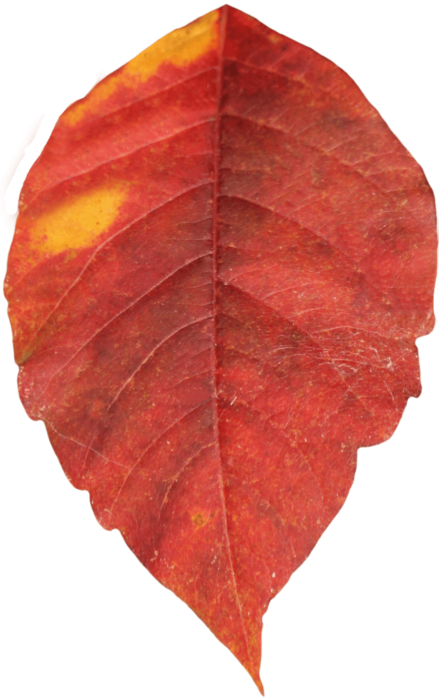 Poinsettia clip leaf. Clipart digital art pinterest