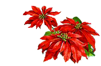 Poinsetta clip holiday flower. Free christmas poinsettia pictures