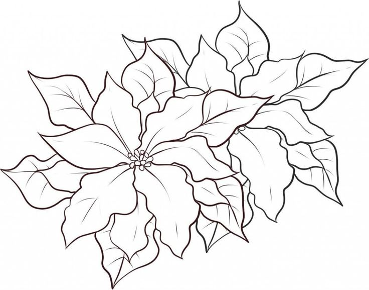 Poinsettia clipart poinsetta. Outline pencil and in