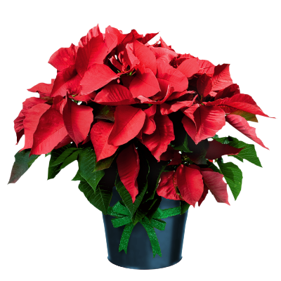 Poinsettia clipart transparent background. Cool design free christmas