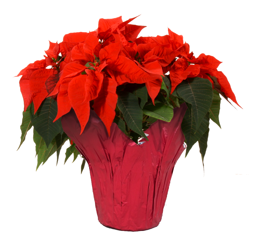 Poinsettia transparent. Inch red background