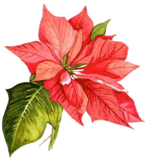 Poinsettia transparent. Drawing png stickpng