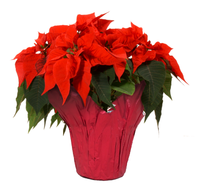 inch red van. Poinsettia transparent background clip art free