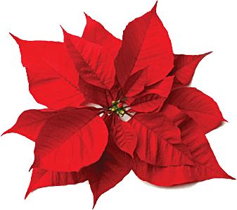 Poinsettia transparent beautiful. Christmas flowers and rose