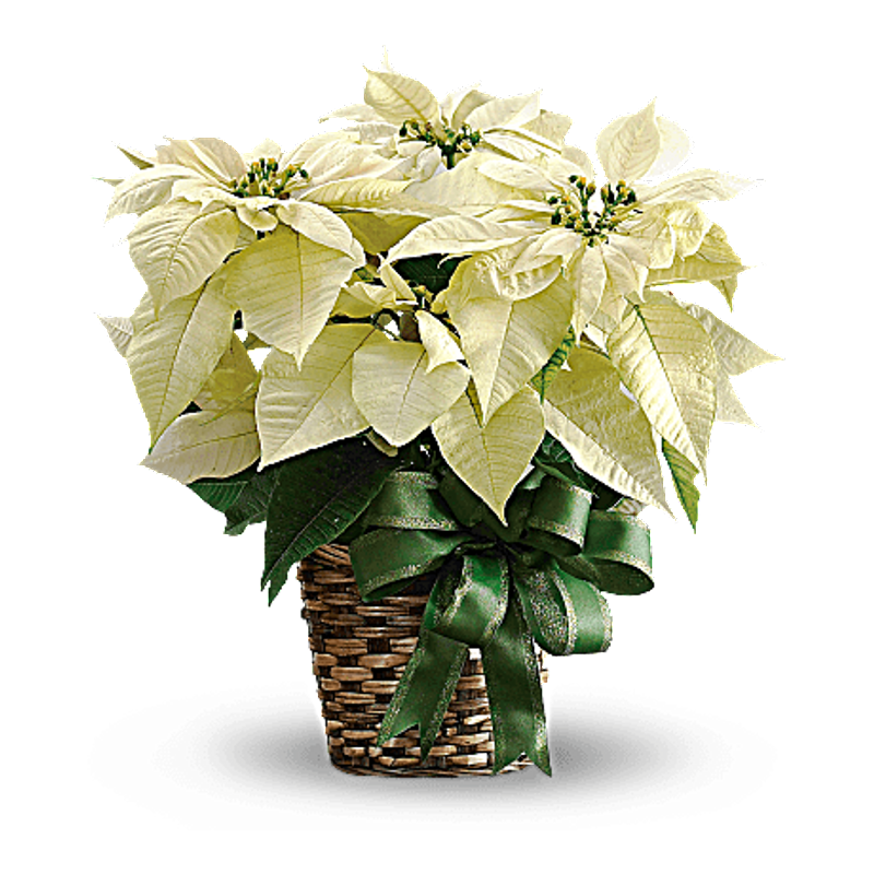 Poinsettia transparent white. Lopshire flowers fort wayne