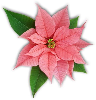 Poinsettia transparent pink. Caring for poinsettias the