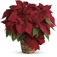 Poinsettia flower meaning symbolism. Poinsetta clip eve graphic stock