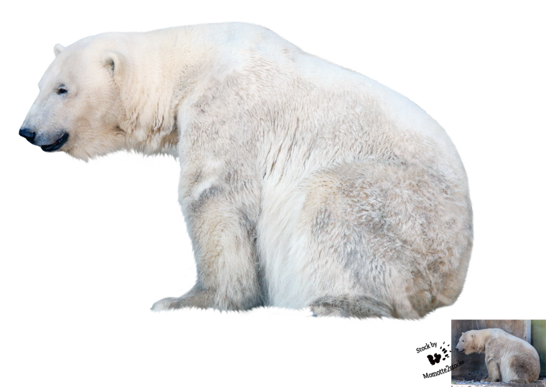 Polar bear png. Cut out stock by