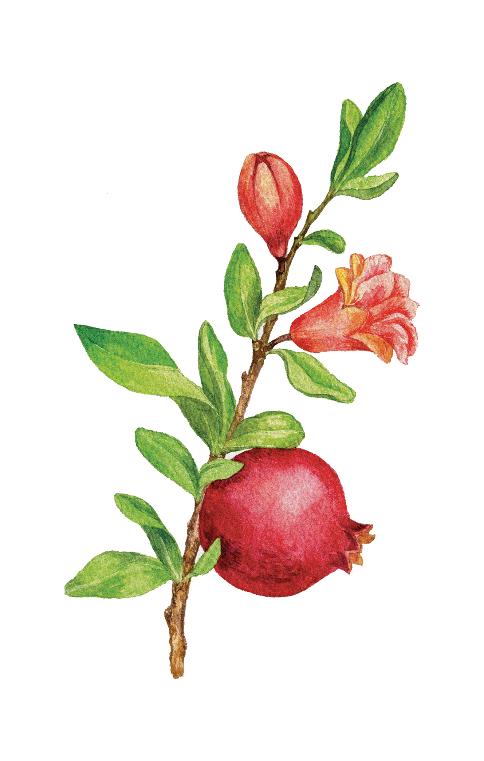 Pomegranate tree png. Friends of sheba medical