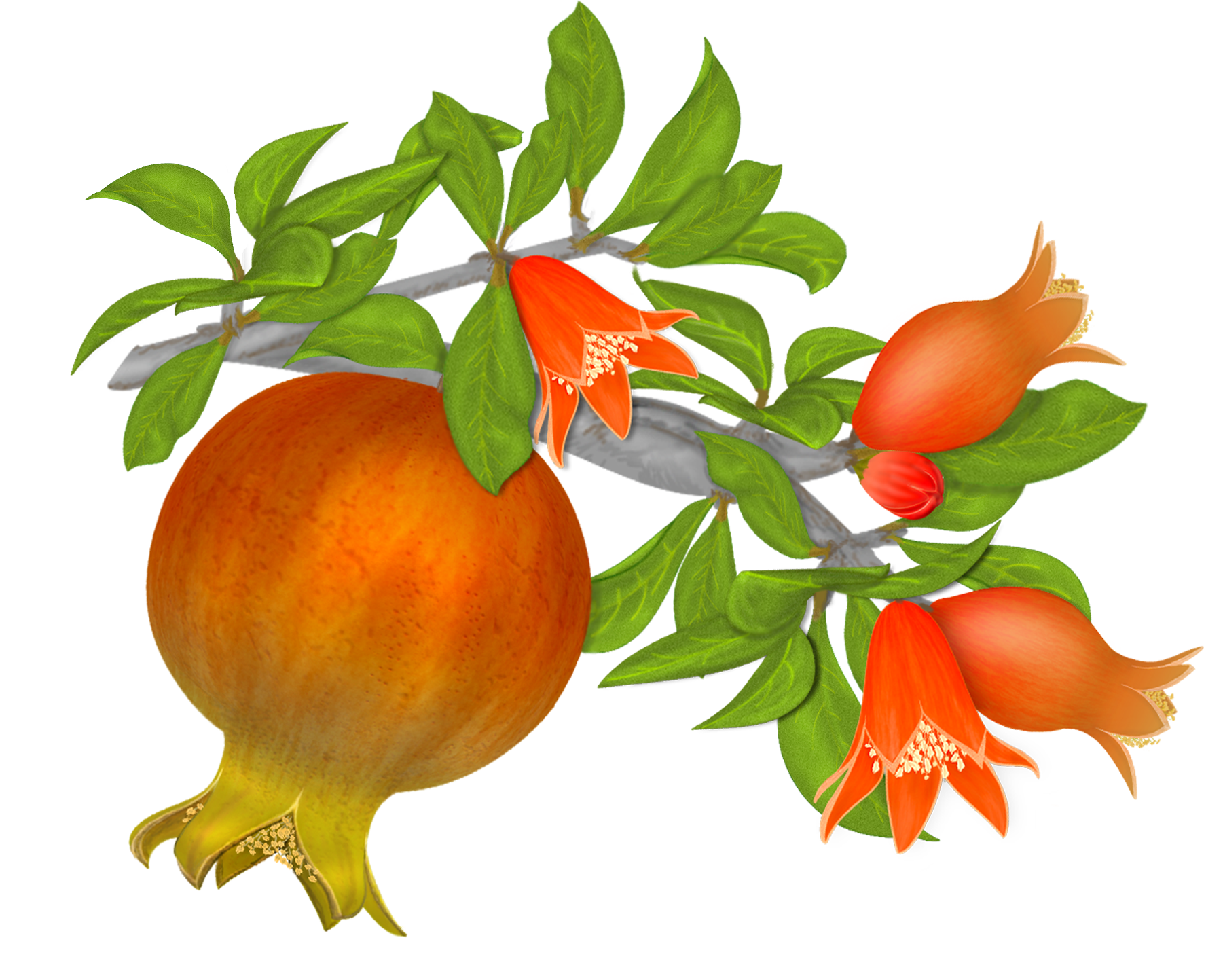 Pomegranate tree png. Free pomegranates vector graphics