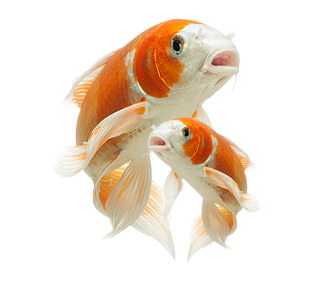 Smart the place for. Koi fish png vector black and white library