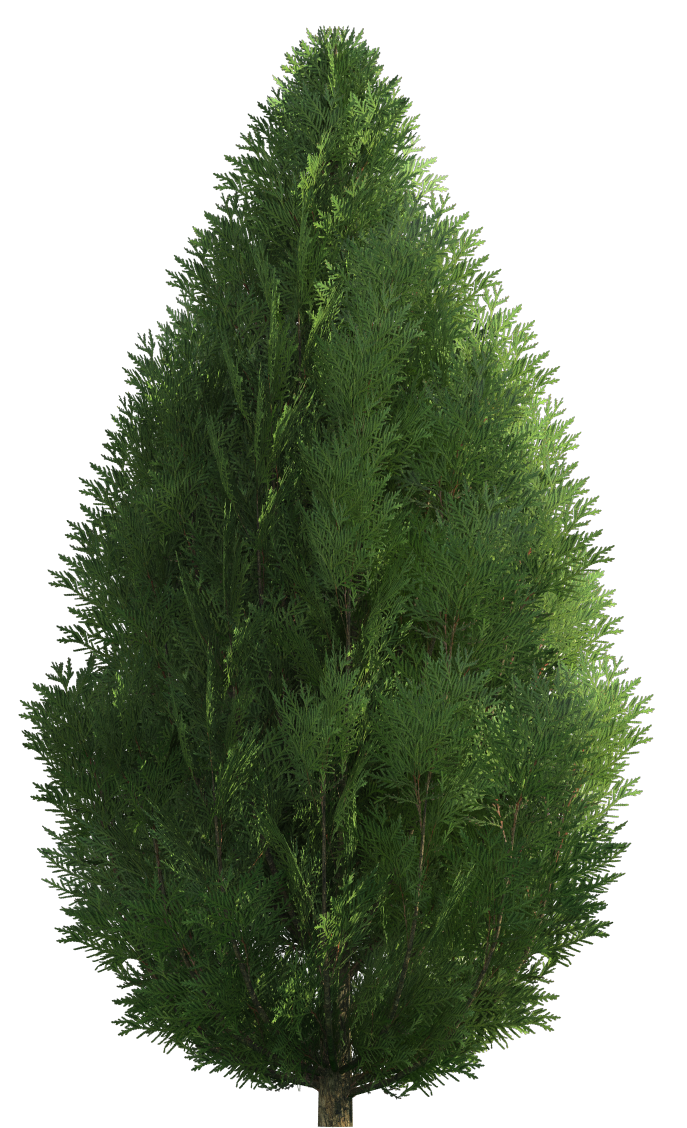 Ponderosa pine tree png. Collection of free cypresses