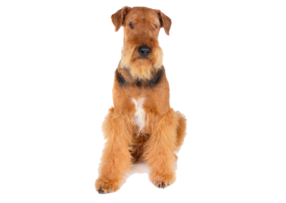 Poodle clip airedale. Terrier dog breed characteristics