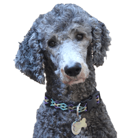 Poodle clip field. Standard puppies dogs irish