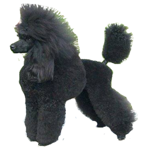 Poodle clip german. A is caniche adventures