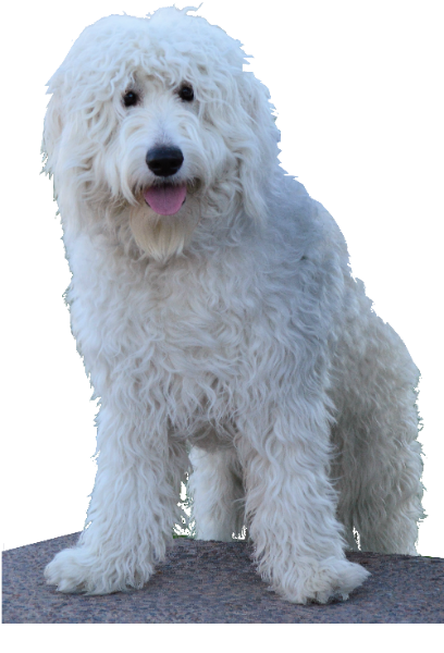 Golden doodle png. My title pure white