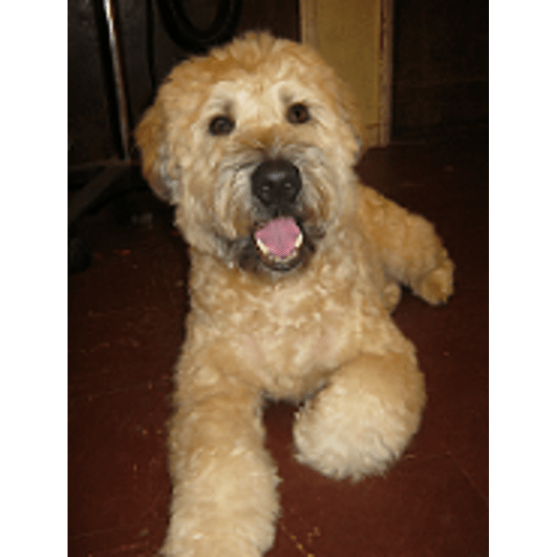 Poodle clip goldendoodle. Abbey road grooming basingstoke