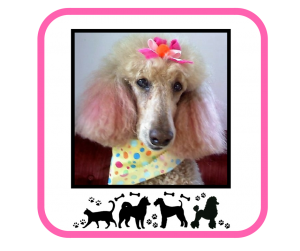Poodle clip grooming. N cuddle clipncuddle clients
