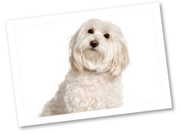 Poodle clip maltese. It may be small