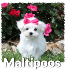 Poodle clip maltipoo. About puppies temperament life