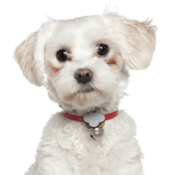 Poodle clip maltipoo. Maltese puppies dogs search