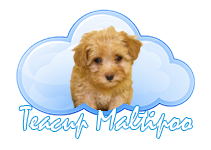 Poodle clip maltipoo. Breed info teacup
