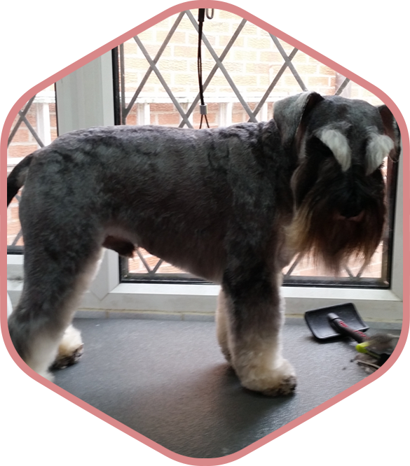 Poodle clip schnauzer. Millionhairs dog grooming wigan