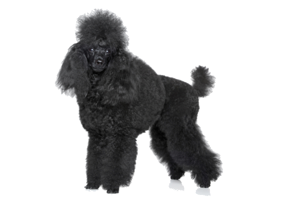 Poodle clip unique. Miniature breed facts and