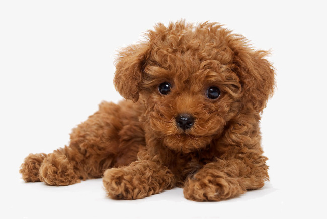Poodle clipart brown poodle. Lovely png image and