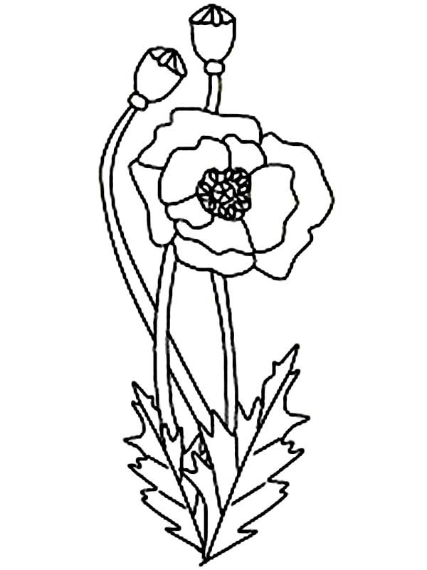 Poppy clipart black and white. Flower scientific drawing at