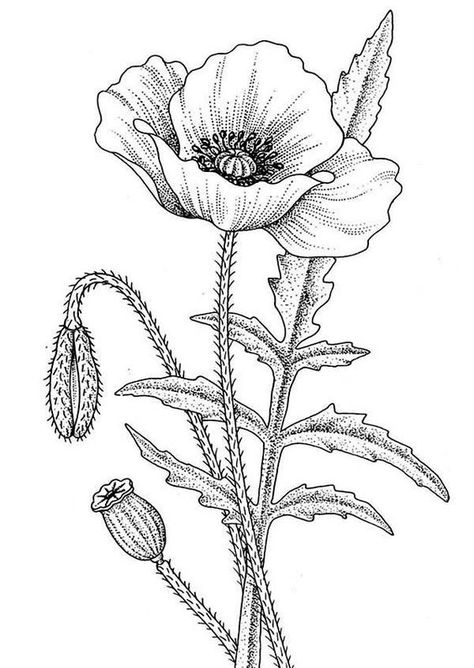 Poppy clipart black and white. Flowers drawing at getdrawings
