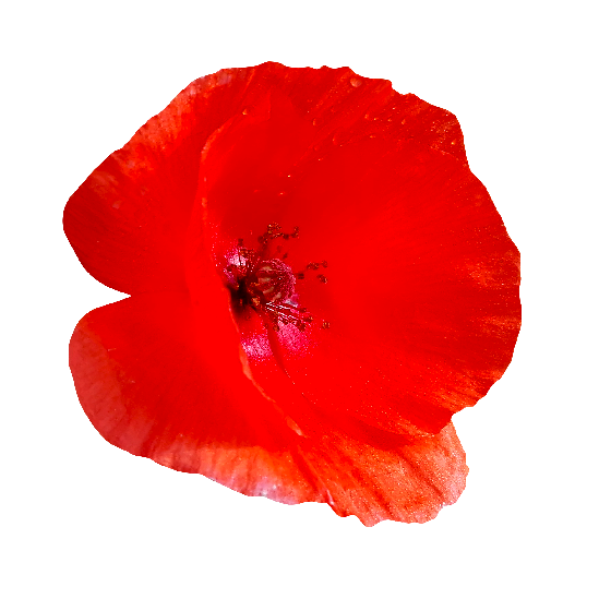 Poppy flower png. Red pixsector