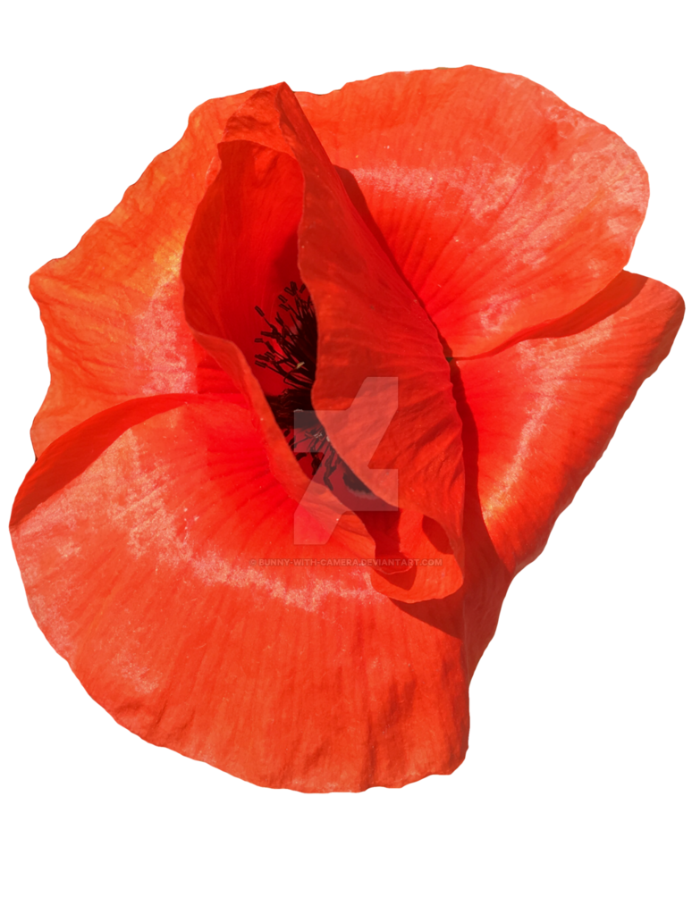 Poppy flower png. Red by bunny with