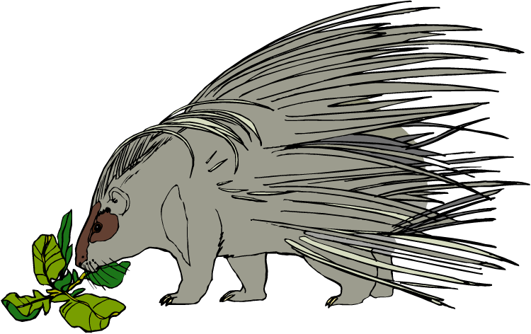 porcupine clipart white background