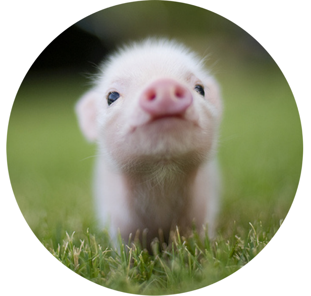 Pork Drawing Cute Baby Pig Transparent Png Clipart Free Download
