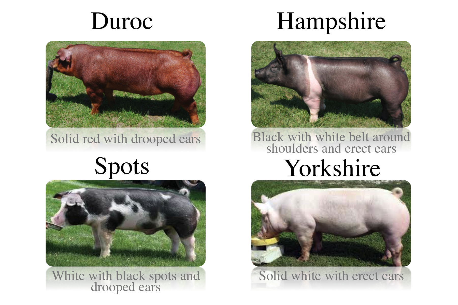 Pork drawing duroc pig. National agriculture in the