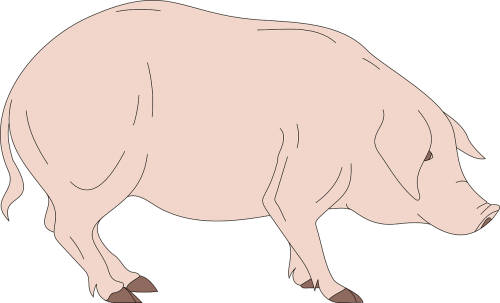 Pork drawing side view. Barn pig standing free