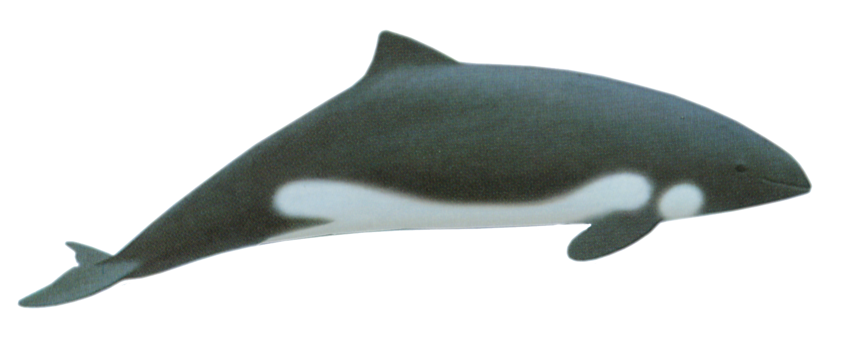 Porpoise drawing color. Heaviside s dolphin