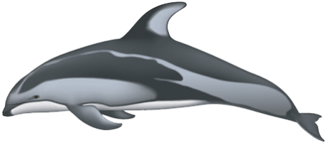 Porpoise drawing harbor. Pacific white sided dolphin