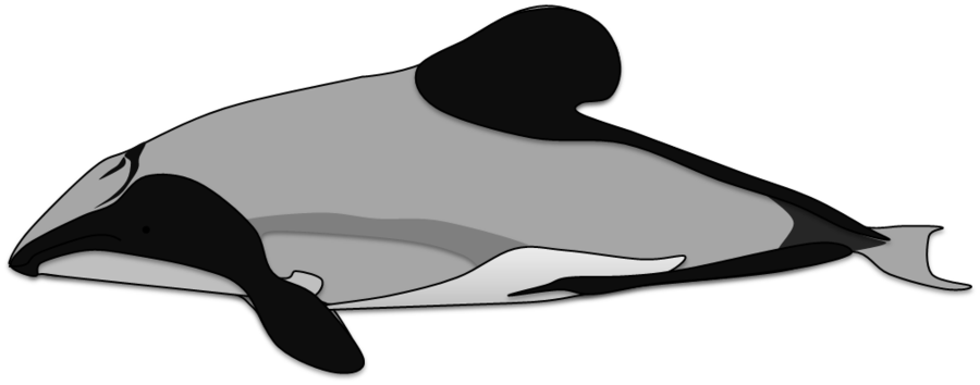 Porpoise drawing killer whale. Hector s dolphin by