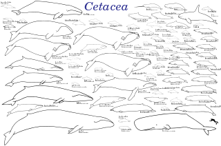 Porpoise drawing underwater. Evolution of cetaceans wikipedia