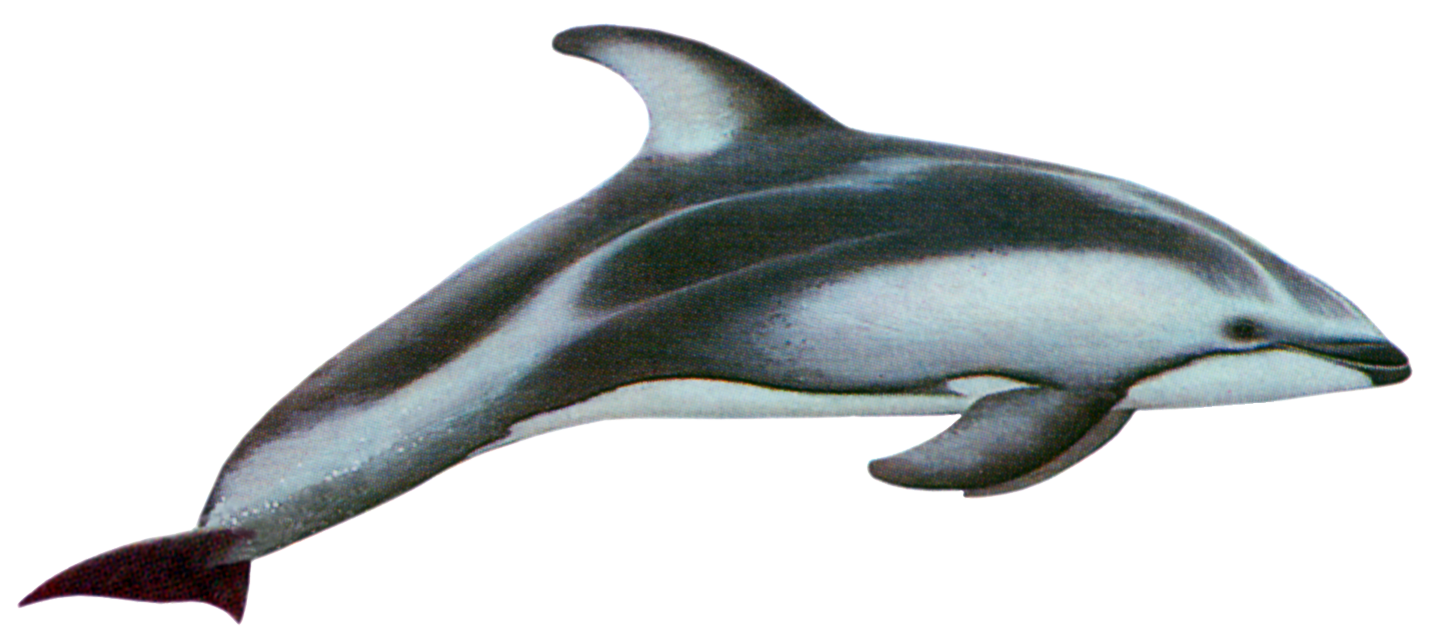 Porpoise drawing statement. Pacific white sided dolphin