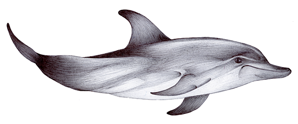 Porpoise drawing under sea. Sketches on behance the