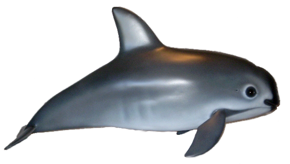 Porpoise drawing vaquita. The phocoena sinus is